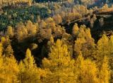 autumn, gold, trees, glow, hillside, dunkeld, perthshire, scotland, conifers, autumnal, wooded, backlighting, golden