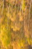 autumn, colour palette, golds, yellows, lochs, rivers, autumnal, silver birch, trunks