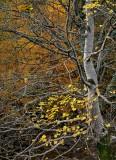 leaves, trees, branches, overcast, glen lyon, perthshire, scotland, autumn