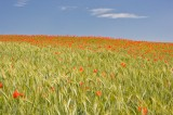 barley, poppy, poppies, northumberland, england, landscape