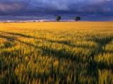 barley, field, clouds, storm, dark, angus, scotland, glorious lighting, late evening light, menacing clouds