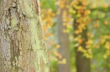 woodland, forest, hues, beech, trunk, blur, harmonious, color palette, soft focus, angus, scotland
