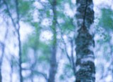 spring, landscape photography, image, softness, leaves, green, birch, photo, forest