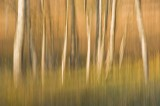 light, birch trees, harmonious, composition, abstract images, beauty of nature, rannoch, perthshire, scotland