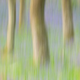 bluebell, wood, abstract, square, pictures, composition, blur, panning, oak, tree, trunk, scotland, perthshire