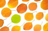 cotinus coggygria, leaves, colorful, lime, green, yellows, oranges, fall season, angus, scotland
