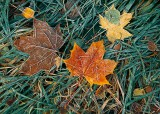autumn leaves, frost, angus, scotland, frosted