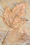 leaf, rock,slab, harmonious, brown, dunkeld,perthshire