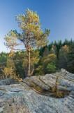 last light, pine, tree, rocky, outcrop, pioneer spirit, rannoch, perthshire, scotland, trees