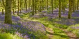 bluebell wood, bluebell, oak, wood, spring, flowers, calm, colours, unbelievable, woodland, perthshire, scotland