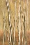 birch, bracken, blur, silver birch, delicate, branches, abstract picture, side lighting, 3d, image, rannoch, perthshire