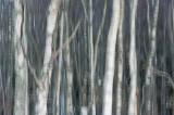 winter, silver, birch, white, tree, trunks, blur, angus, scotland