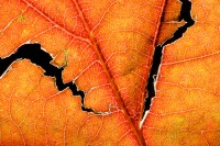 abstract, leaf, vein, patterns, autumn, structure, fractures