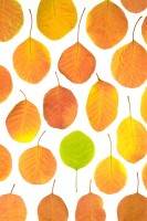 patterns, individual,Cotinus coggygria, smoke bush, autumn, against the flow, lone, green