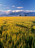 barley, ripening, clouds, angus, scotland, weather front, side lighting, trees, summer, field