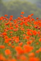 poppies, poppy, conservation area, wild flowers, field, agricultural industry, flowers, red, northumberland, england