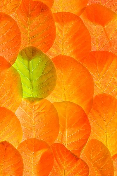 cotinus coggygria, smoke bush, leaves, lime green, orange, autumn, springtime, vibrant, scotland, photo