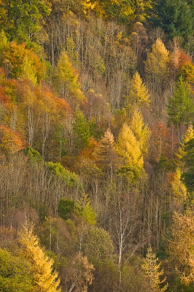 dunkeld, perthshire, autumn, silver birch, birch, leaves, colours, image, branches, tree, photo