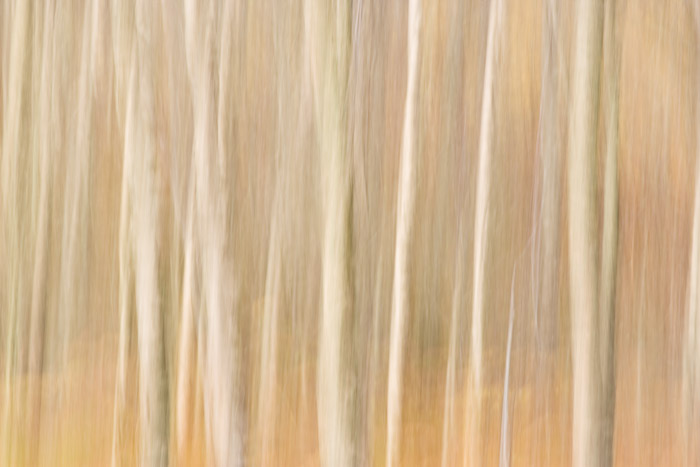 silver birch, blur, birch, trunks, exposure, image, rannoch, perthshire, scotland, separation, panning, photo