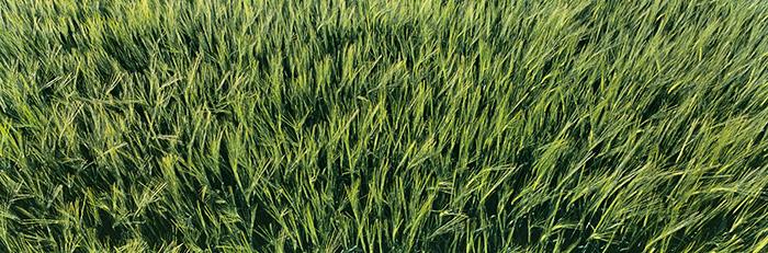 barley, ripening, angus, countryside, arable, crop, verdant, green, panorama, scotland, photo