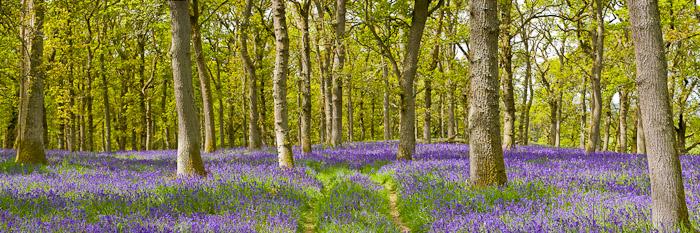 bluebell, wood, bluebells, mauve, flower, path, woodland, photo