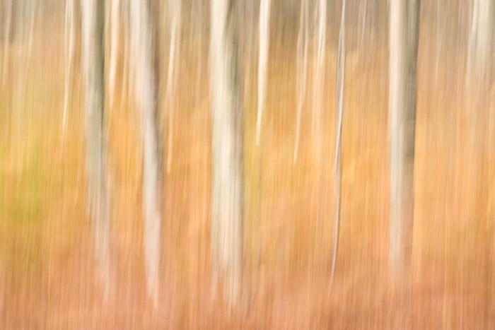 silver birch, autumnal, bracken, blur, perthshire, scotland, tummel, abstract, image, photo