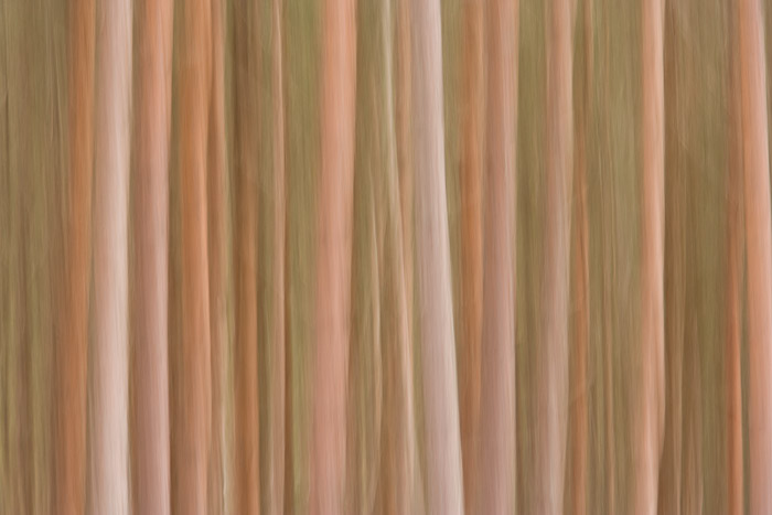pin, tree, trunk, kincraig, cairngorms, scotland, warm, blur, national park, cairngorms national park, photo