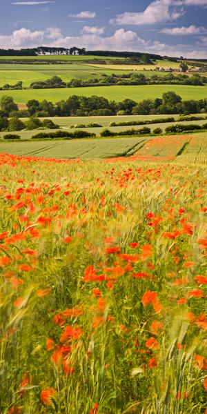 red poppies, rolling farmland, farmhouse, hillside, english, summer, poppy, northumberland, england, farmland, photo
