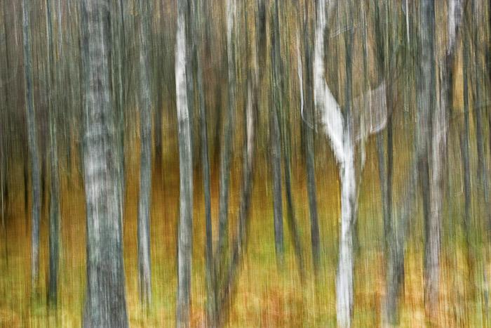 birch, blur, muted, autumnal, hues, rannoch, perthshire, scotland, photo