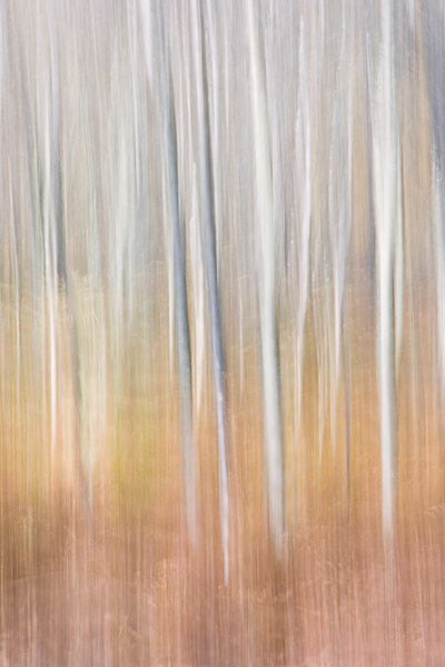 tree, blur, birch, muted, colours, image, photo
